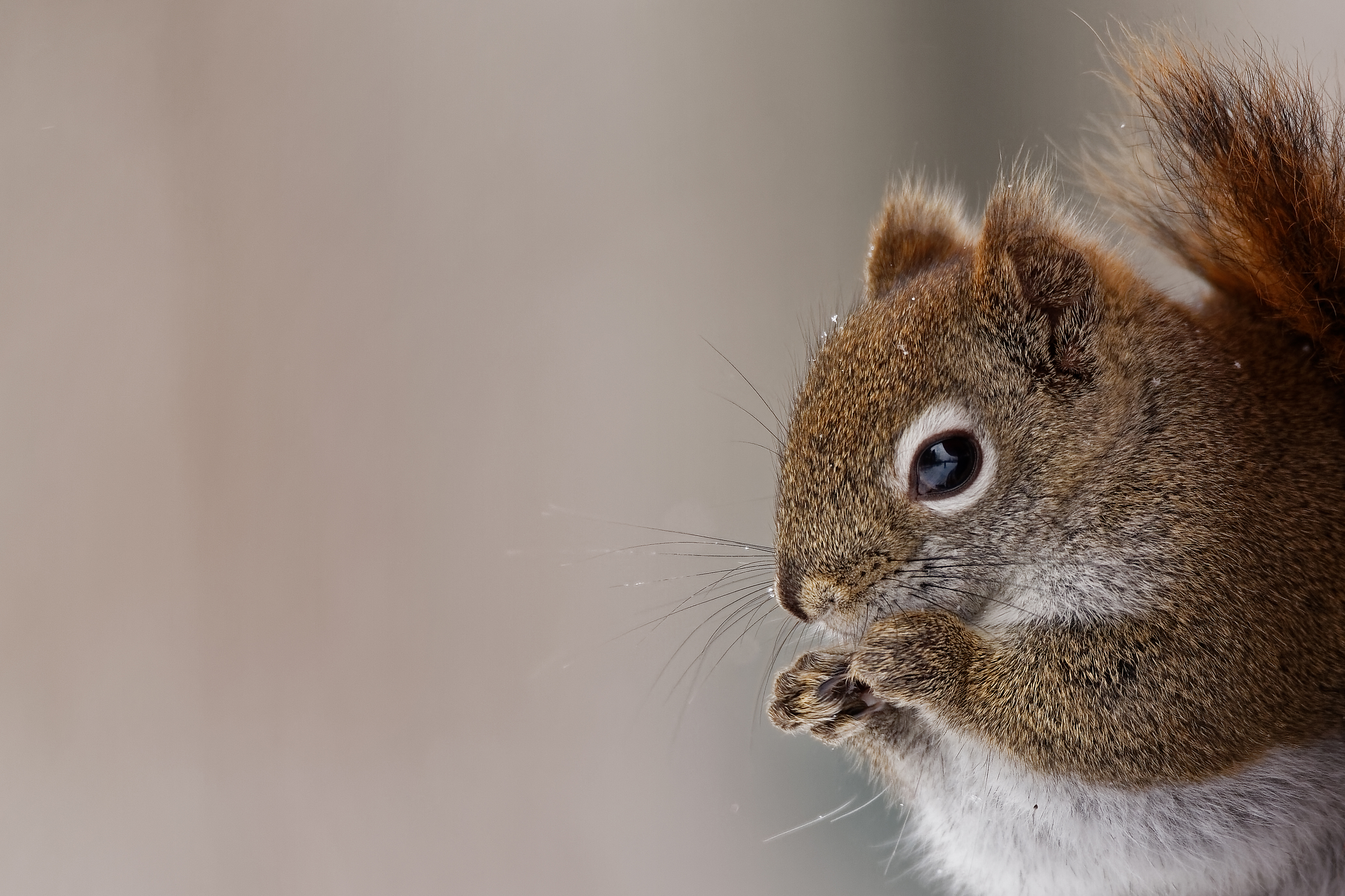 American Red Squirrel Portrait